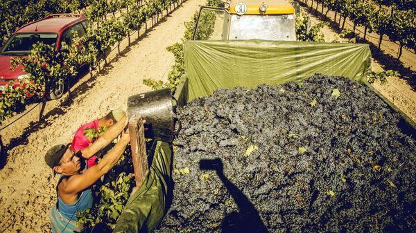 Сбор винограда сорта Темпранильо, Рибера-дель-Дуэро, Испания