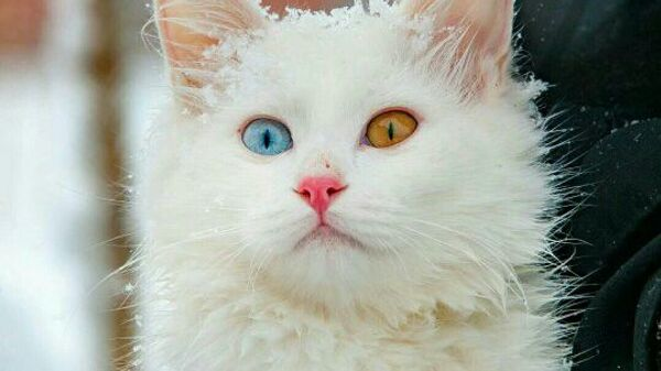 турецкие кошки фото