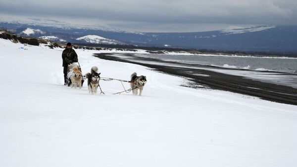 Упряжка ездовых собак на острове Кунашир