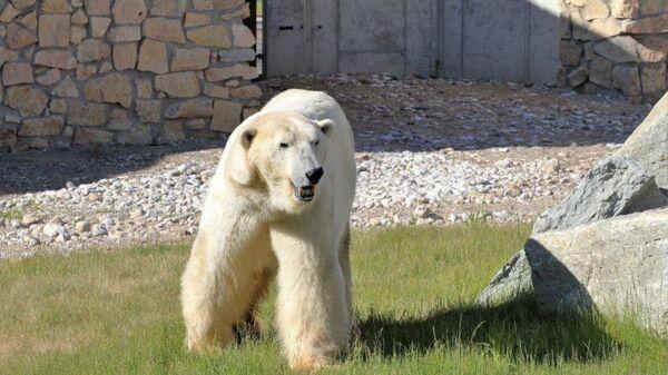 Белый медведь Норд в Таллинском зоопарке