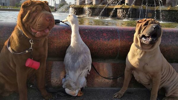 Утка по имени Гав дружит с собаками и снимается на ТВ