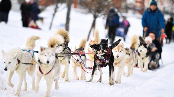 Посетители катаются на собачьих упряжках в парке Царицыно в Москве