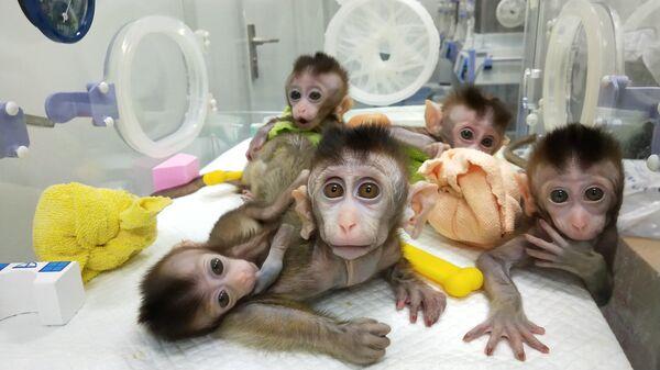 Пять клонированных обезьян в лаборатории Института нейронаук Шанхая при Китайской академии наук. 24 января 2019