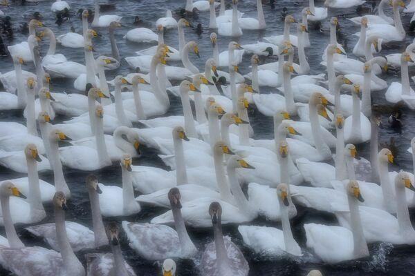 Лебеди-кликуны и утки на Лебедином озере, расположенном на территории государственного природного комплексного заказника Лебединый в Алтайском крае