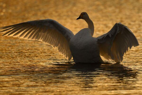 Лебедь-кликун на Лебедином озере, расположенном на территории государственного природного комплексного заказника Лебединый в Алтайском крае
