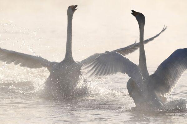 Лебеди-кликуны на Лебедином озере, расположенном на территории государственного природного комплексного заказника Лебединый в Алтайском крае