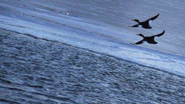 Длинноносые крохали летят над морем