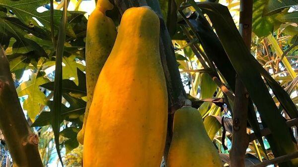 Первый созревший плод папайи в Ботаническом саду МГУ Аптекарский огород