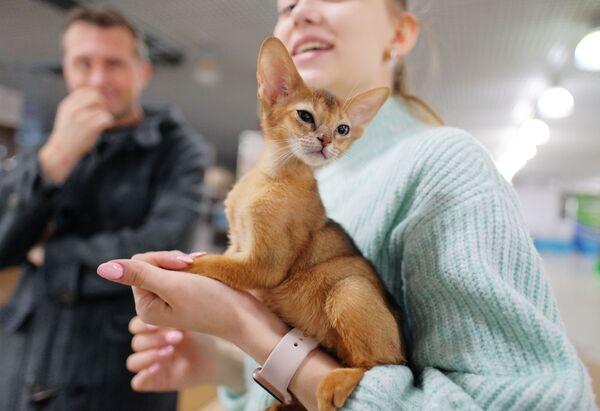 Кошка породы абиссинская на выставке котят Любимчик в галерее Мир кошек в Москве
