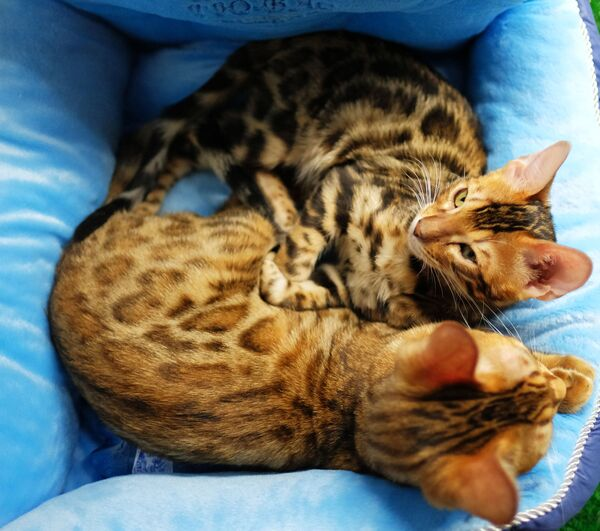 Кошки породы бенгальская на выставке котят Любимчик в галерее Мир кошек в Москве