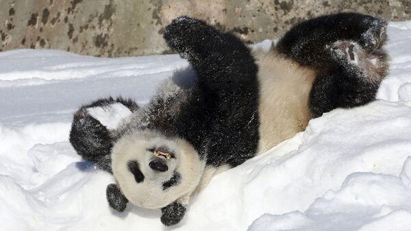Панда лежит на снегу
