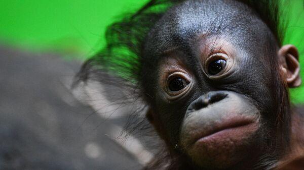 Детеныш борнейского орангутана в Московском зоопарке