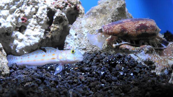 Улитка-конус охотится на рыбу