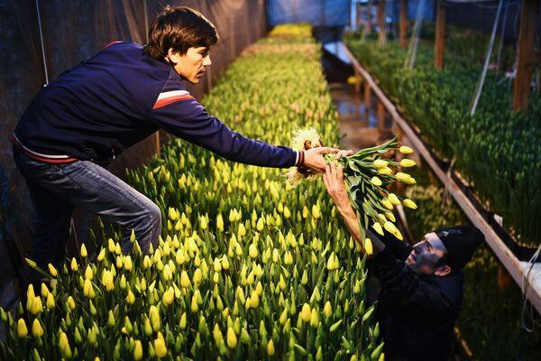 Работники во время сбора урожая тюльпанов в преддверии праздника 8 марта в тепличном хозяйстве АЛЕКСиЯ в Новосибирске
