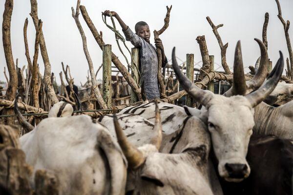 Мальчик помогает вести скот в Нгуроре, Нигерия