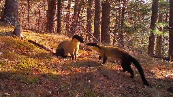 В Приморье впервые сняли жизнь семьи индийских куниц в дикой природе