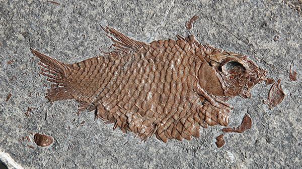 Отпечаток ископаемой рыбы в Швейцарских Альпах