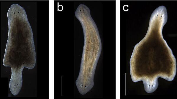 Двуглавые черви, выращенные учеными