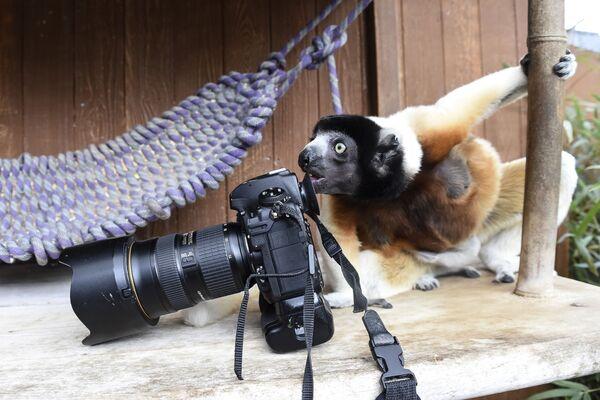Увенчанный сифака по кличке Поппи осматривает фотоаппарат фотографа в зоопарке Мюлуза, Франция