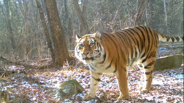 Тигрица Мира в Сихотэ-Алинском заповеднике