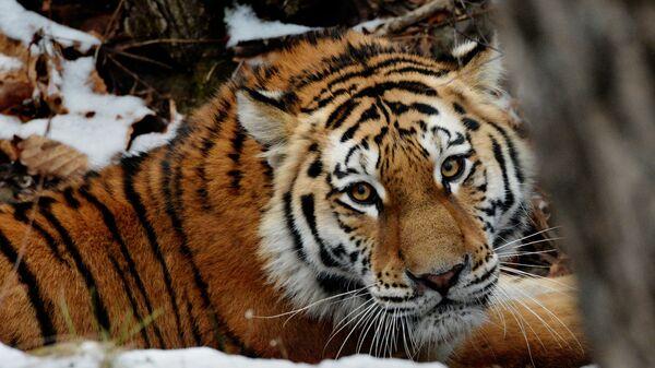 Молодая амурская тигрица