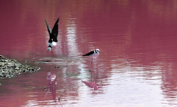 Птицы на озере в парке Вестгейт, которое окрасилось в розовый цвет в Мельбурне, Австралия
