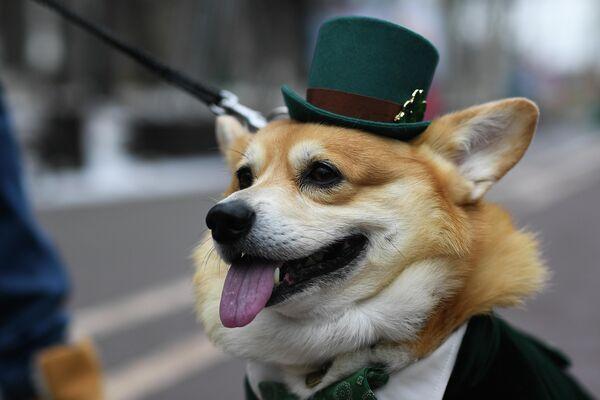 Собака участника парада в честь Дня святого Патрика в парке Сокольники в Москве