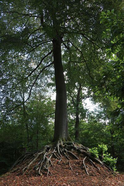 Дерево Люмменской Богородицы, Бельгия