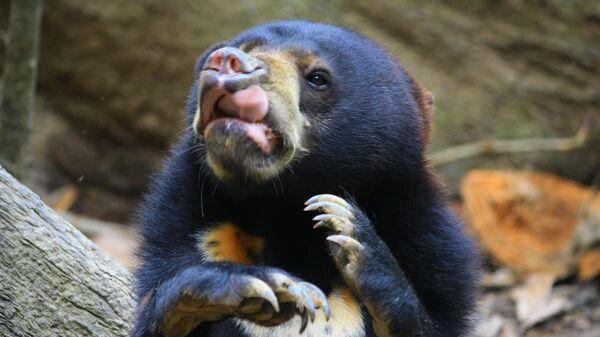 Яванский медведь, строящий рожицы