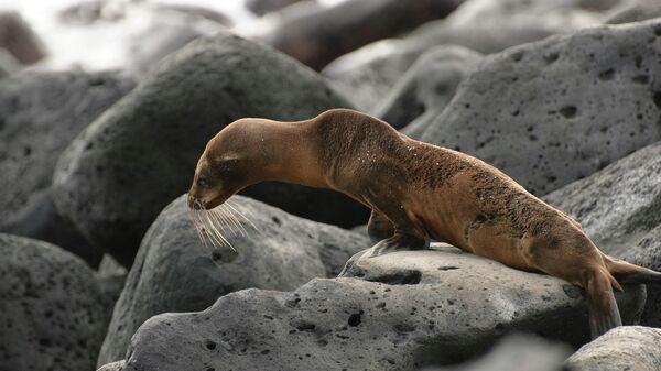 Голодающий детеныш морского льва