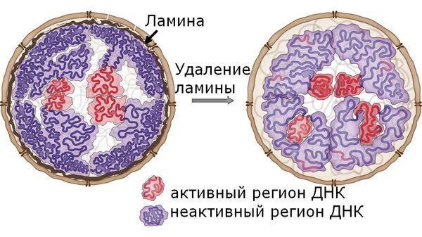 Белковые заборы в ядре клетки оказались важной частью упаковки ДНК