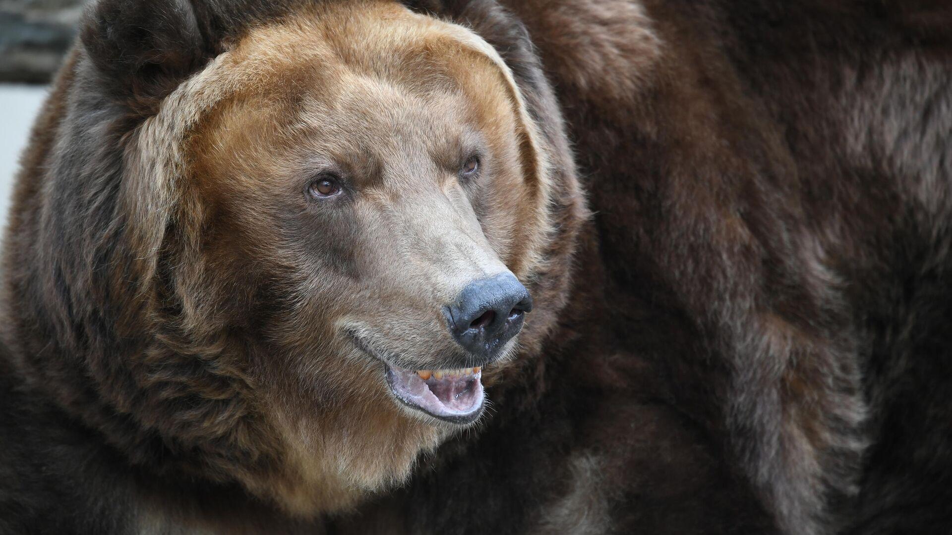 Бурый медведь - РИА Новости, 1920, 18.09.2020
