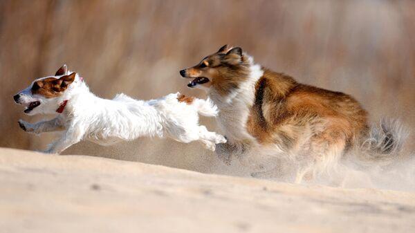 Джек-Рассел-терьер и Шелти во время тренировки собак по курсингу в Казани