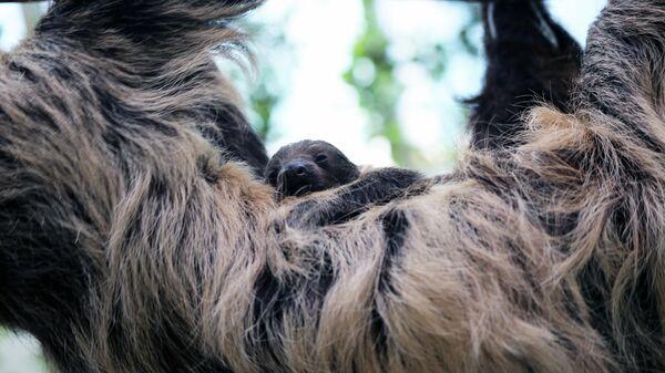 Новорожденный двупалый ленивец с мамой Шарлоттой в Денверском зоопарке