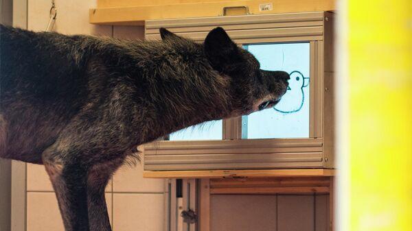 """""""Инстаграм"""" для волков помог ученым развеять миф об их эгоистичности"""