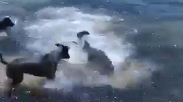 Скриншот видео нападения собак на акул в Астралии