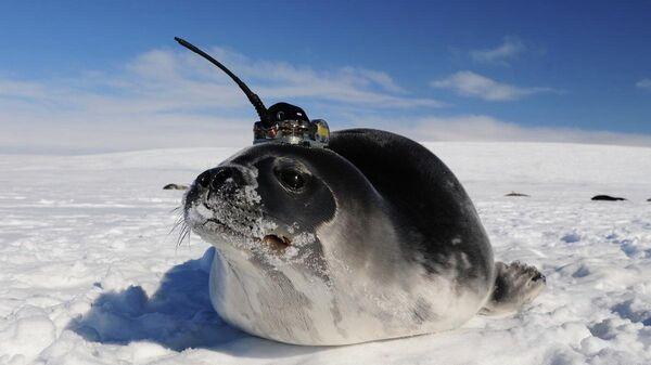 Тюлень-доброволец с маячком GPS