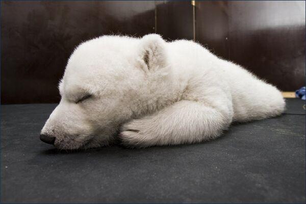 Белая медведица Флоке (Снежинка)