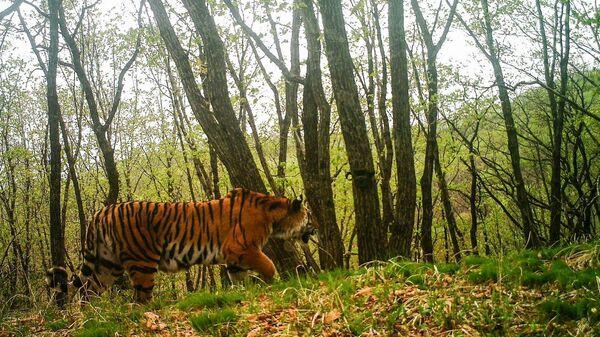Амурский тигр вблизи фотоловушки в приморском нацпарке Земля леопарда
