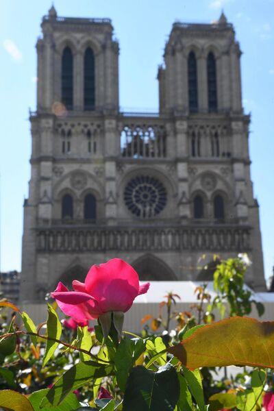 Цветущаю роза перед Собором Парижской Богоматери (Notre Dame de Paris) в Париже