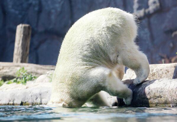 Белый медведь в зоопарке в Гельзенкирхене, Германия