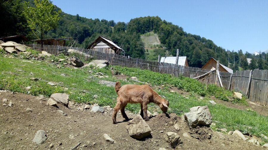 Козленок гуляет на хуторе