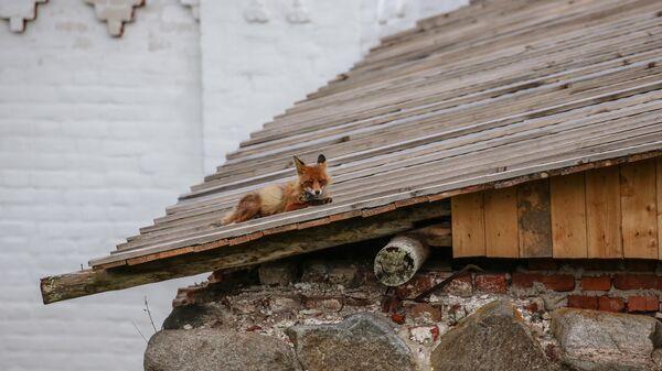 Лиса на крыше Соловецкого монастыря