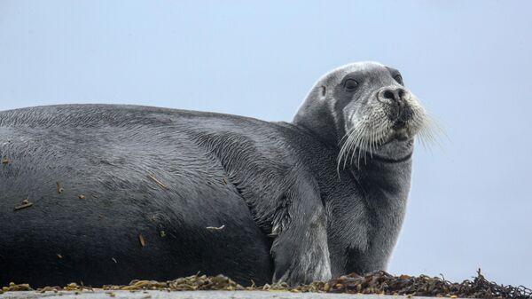 Морской заяц (лахтак) на камнях острова Топ на Соловецких островах