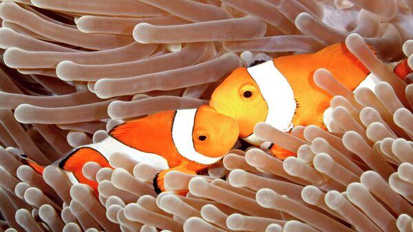 Рыбы-клоуны обитают в коралловых рифах. Если самка погибает, то ее место занимает самец. Он буквально меняет пол.