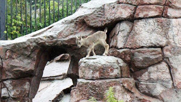 Ягненок голубого барана в Московском зоопарке