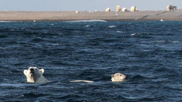 Белые медведи на мысе Блоссом острова Врангеля в Чукотском автономном округе