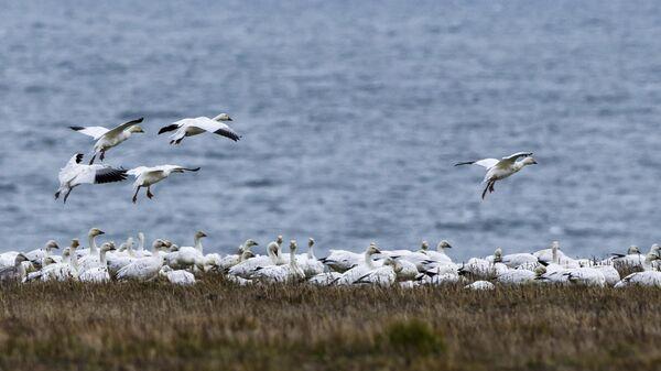 Белые гуси на острове Врангеля в Чукотском автономном округе