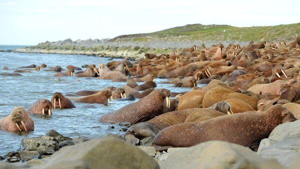Лежбище моржей на мысе Кожевникова в арктической зоне Чукотки