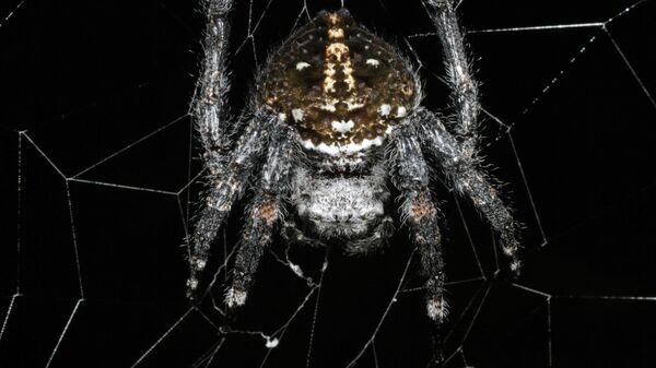 Дарвиновский паук, создатель самого прочного биоматериала на Земле